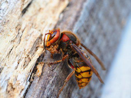 Hornet, Insect, Nature, Macro, Animal World