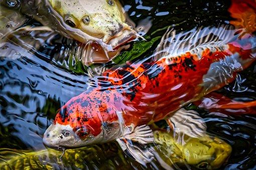 Koi, Pond, Fish, Japanese, Nature, Exotic