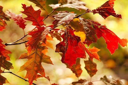 Fall Foliage, Oak, Red Oak, Leaves, Autumn Colours