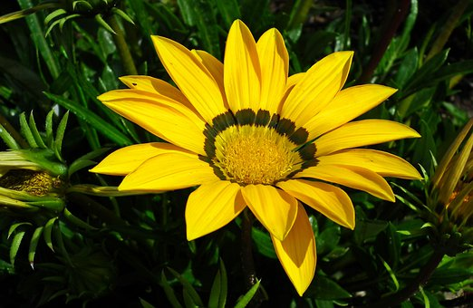 Gazania, Flower, Yellow, Nature, Garden, Summer, Macro