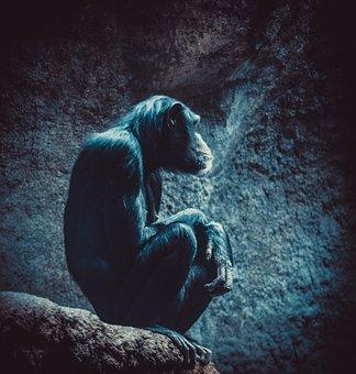Chimpanzee, Zoo, Monkey, Mammal, Animal World, Portrait
