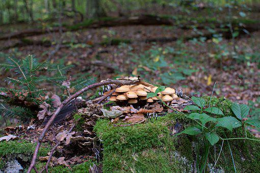Mushrooms, Forest, Discovered, Muscaria, Amanita
