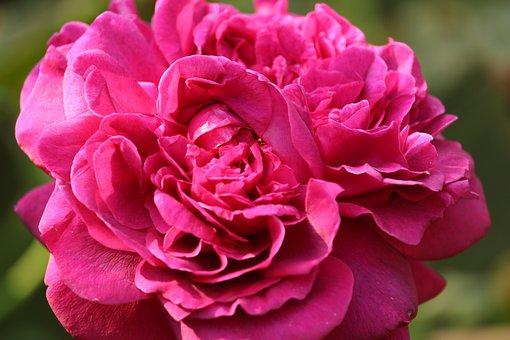 Rose, Scented Rose, Beauty, Blossom, Bloom, Rose Bloom