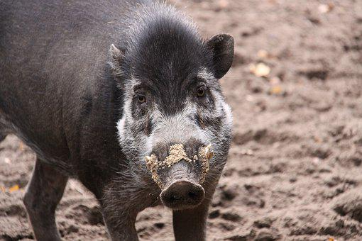 Visaya-whelk Pig, Whelk Pig, Pig, Boar, Snout