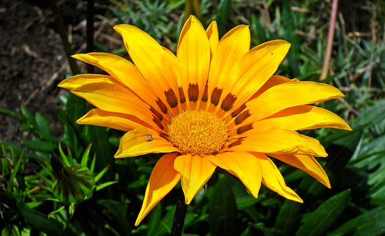 Gazania, Yellow, Summer, Garden, Nature, Plant