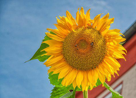 Sunflower, Large, Blossom, Bloom, Flower, Sunny, Yellow