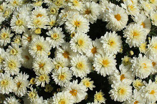 Chrysanthemum, White Flowers, Figure, Blooming, Nature
