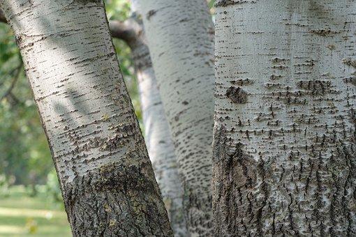 Birch, Tribe, Trees, Nature, White, Tree, Autumn