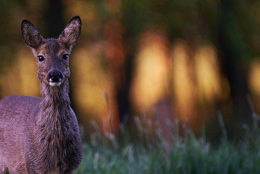 Wild Animal, Roe Deer, Forest, Red Deer, Wild, Fawn