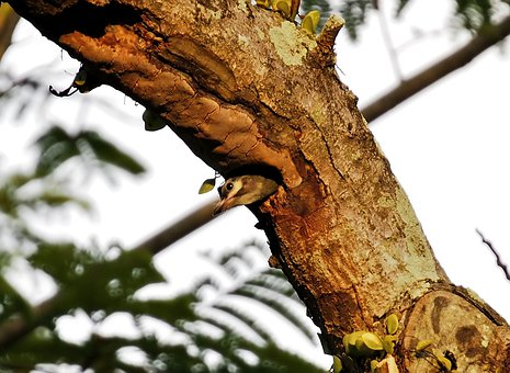 Baby Coppersmith Barbet, Wild, Bird, Wildlife, Baby