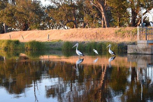 Pelican, Birds, Avian, Nature, Wildlife, Australia