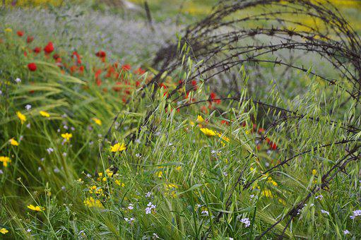 Israel, Golan Heights, Poppies, Barbed Wire