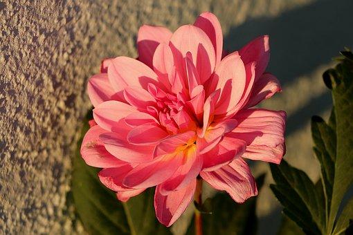 Dahlia, Blossom, Bloom, Ornamental Flower, Composites