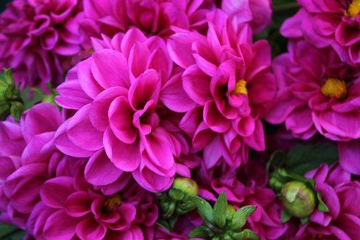 Chrysanthemum, Flower, Flowers, Florist, Garden, Violet