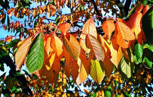 Foliage, Colorful, Cherry, Tree, Autumn, Colour