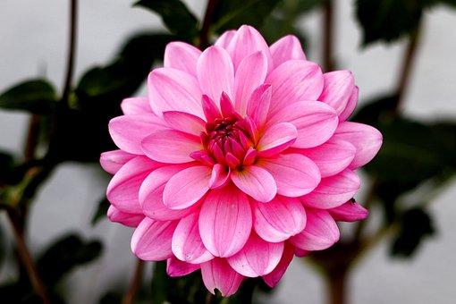 Dahlia, Blossom, Bloom, Dahlia Garden, Composites
