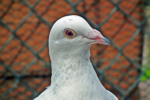 Dove, White, Postal Codes, Kennel, Bird, Plumage, Beak