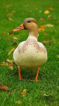 Duck, Animal, Nature, Water, Water Bird, Bird, Plumage