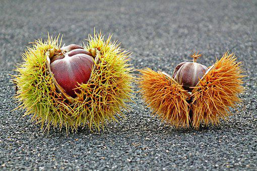 Chestnuts, Edible, Fruit, Mature, Shell, Spikes, Autumn