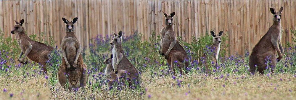 Animals, Kangaroos, Australian, Wildlife, Family, Group
