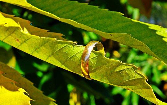 Foliage, Chestnut, Edible, Wedding Ring, Gold, Autumn