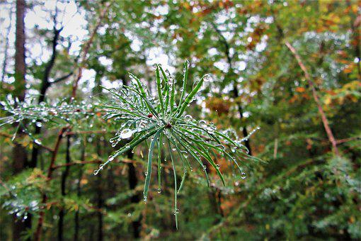Forest, Drops, Fir Tree, Needles, Vegetable, Scrub
