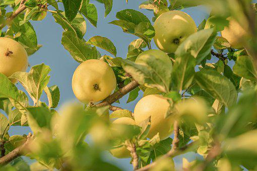 Apple, Yellow, Fruit, Tree, Apple Tree, Ripe, Sweet