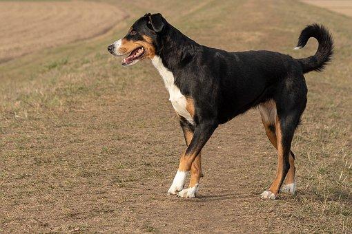 Dog, Appenzeller Sennenhund, Sennenhund, Hund