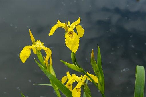 Wildflower, Fleur-de-lis, Flower, Iris-flower