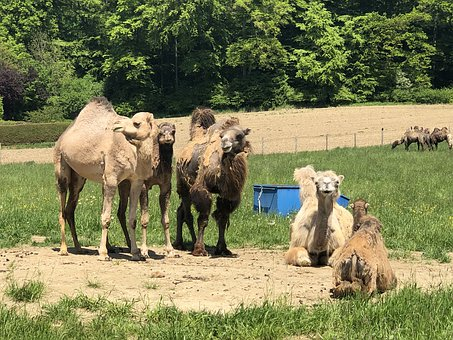 Camels, Travel, Landscape, Mammal, Fur, Animals