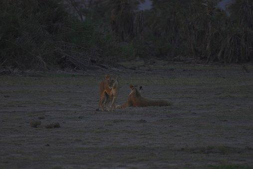 Lions, Dusk, Lion, Sunset, Nature, Landscape, Africa