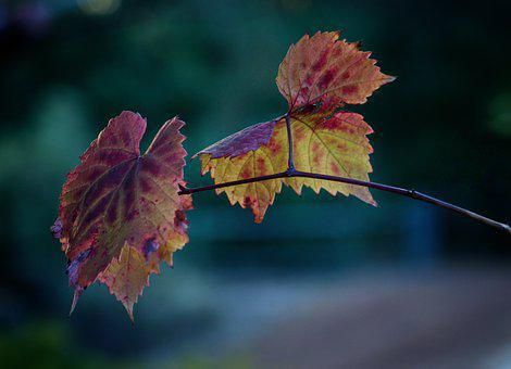 Autumn, Fall, Grapes, Leaves, Colour, Nature, Mood, Red