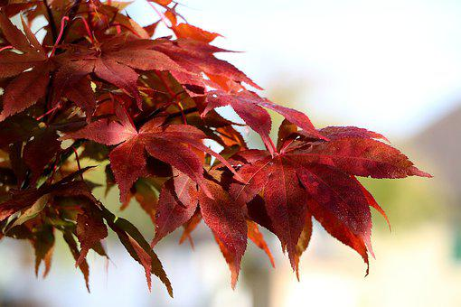 Fall Leaves, Maple, Leaves, Branch, Fall Color