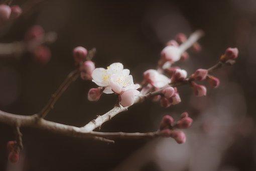Plum, Winter, Spring, Flowers, Bud, Seasonal, Natural