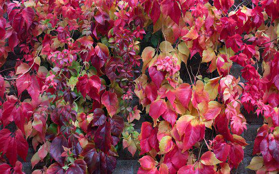 Virginia Creeper, Parthenocissus 'veitchii, Fall Colors
