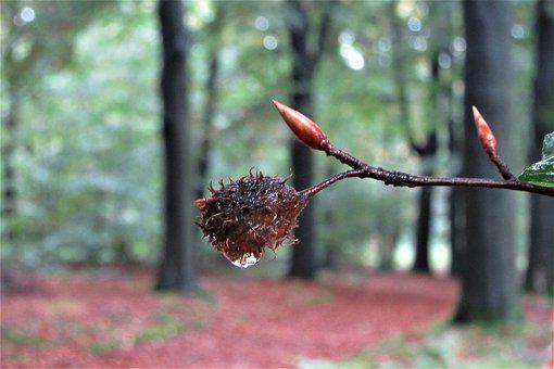 Beech Nut, Drop, Autumn Forest, Trees, Rain, Wet