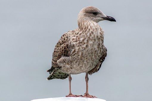 Seagull, Bird, Sea, Baltic Sea, Animal, Nature, Water