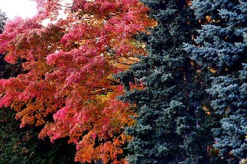 Tree, Autumn, Clone, Foliage, Spruce, Nature, Park