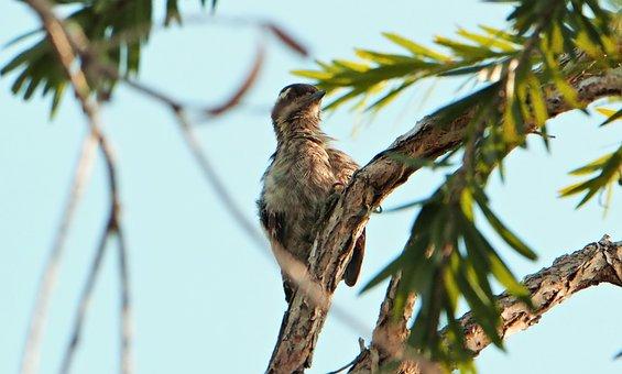 Sunda Woodpecker, Wild, Bird, Wildlife, Seasonal, Sunda