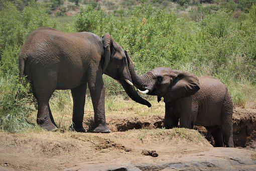 African, Elephants, Mating, Swim, Two, Trunks