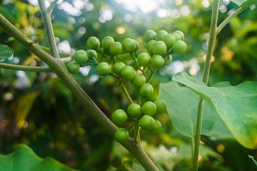 Pea Eggplant, Solanum Torvum, Plant, Vegetable, Tree