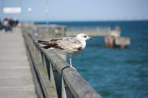 Darss, Prerow, Baltic Sea, Darß, Seagull, Sea, Water
