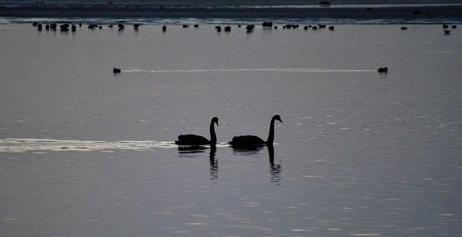 Black Swans, Morning, Bird, Water, Elegant, Nature