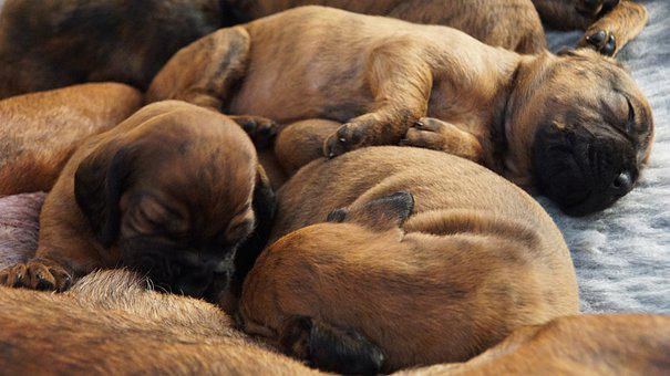 Puppies, Litter, Hanovarian Dogs, Hs, Dog, Young Dog