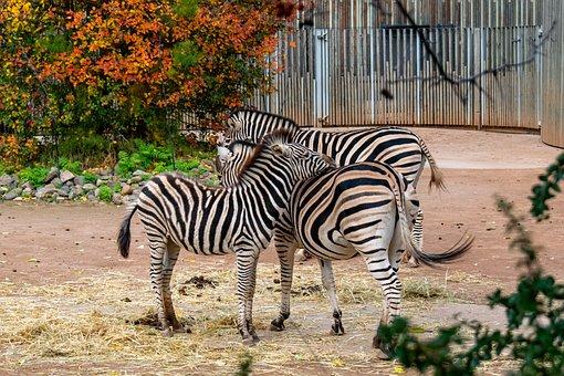Zebra, Zebras, Zoo, African Animals, Africa