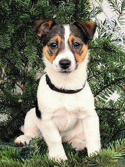 Dog, Puppy, Jack Russel, Young, Cute, Pet, Charming