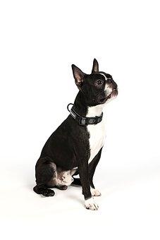 Boston Terrier, Dog, Terrier, Cute, Animal, Puppy