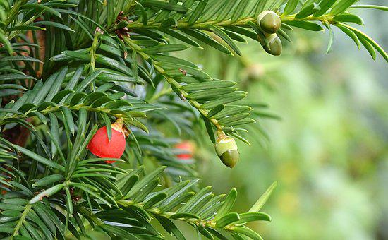 Yew, Conifer, Taxus, Berries, Yew Greenhouse, Evergreen