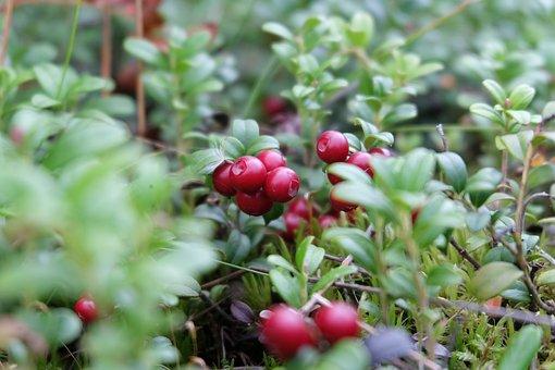 Berry, Cranberries, Finland, Summer, Tasty, Freshness
