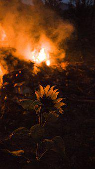 Nature, Flower, Plant, Fire, Orange, Sunflower